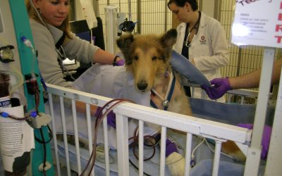 A Collie with a Kidney Infection